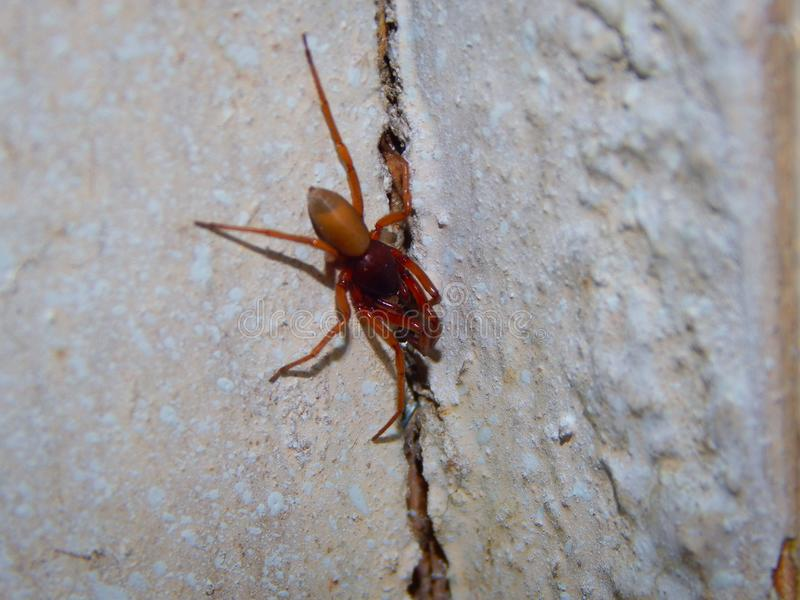 Little spider close-up, resting on the wall. Photographed indoors at daytime stock image