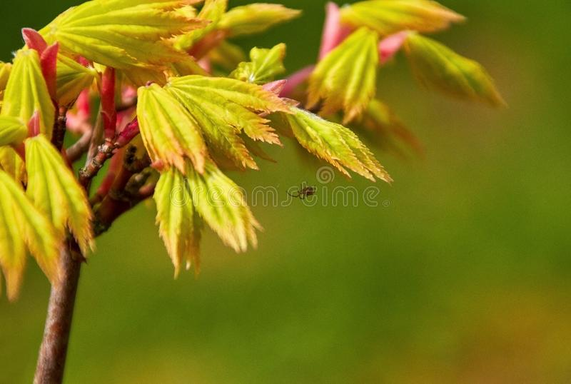 Little spider on young maple tree leaves royalty free stock images