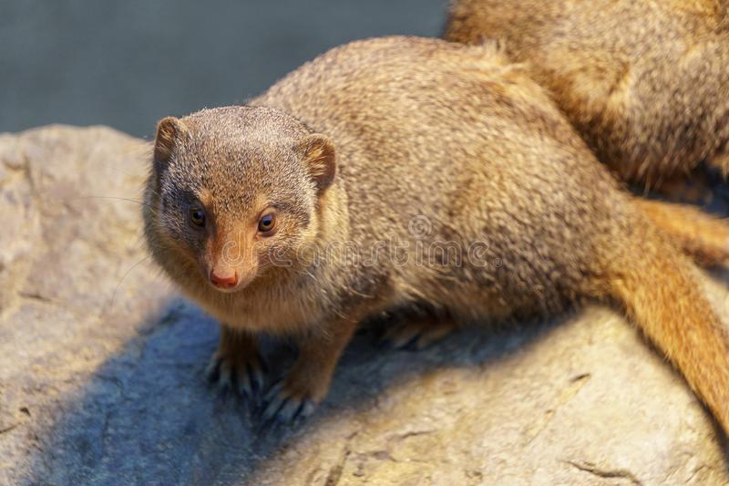 Little spiky mongoose stock images