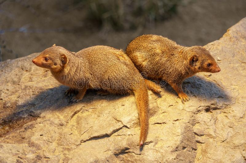 Little spiky mongoose stock image