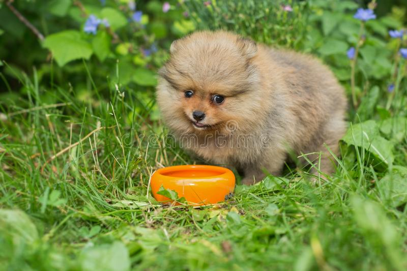 Little Spitz puppy eats  with the orange bowl royalty free stock photo