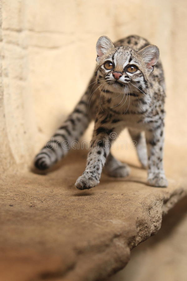 Little spotted cat. The young little spotted cat royalty free stock photography