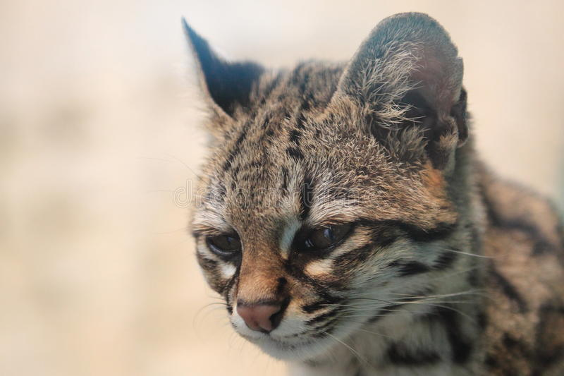 Little spotted cat. The detail of little spotted cat or oncilla royalty free stock photos