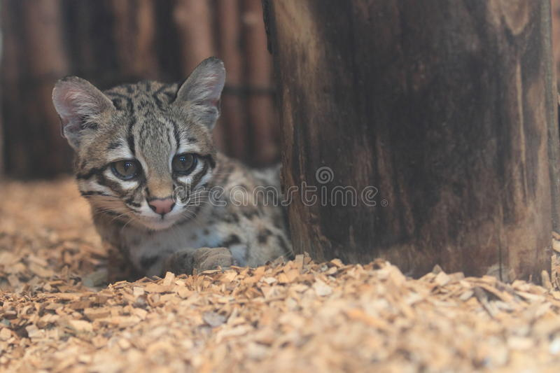 Little spotted cat. Lying behind the tree trunk royalty free stock photography