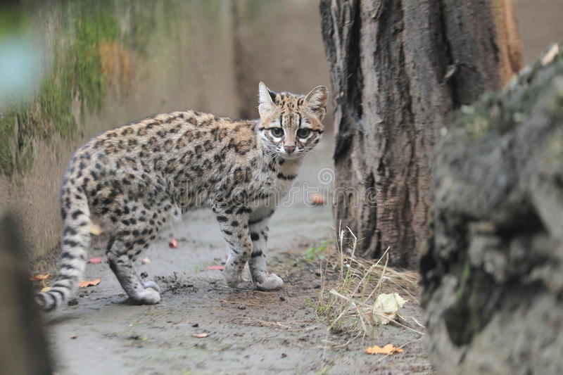 Little spotted cat. On the soil royalty free stock photos