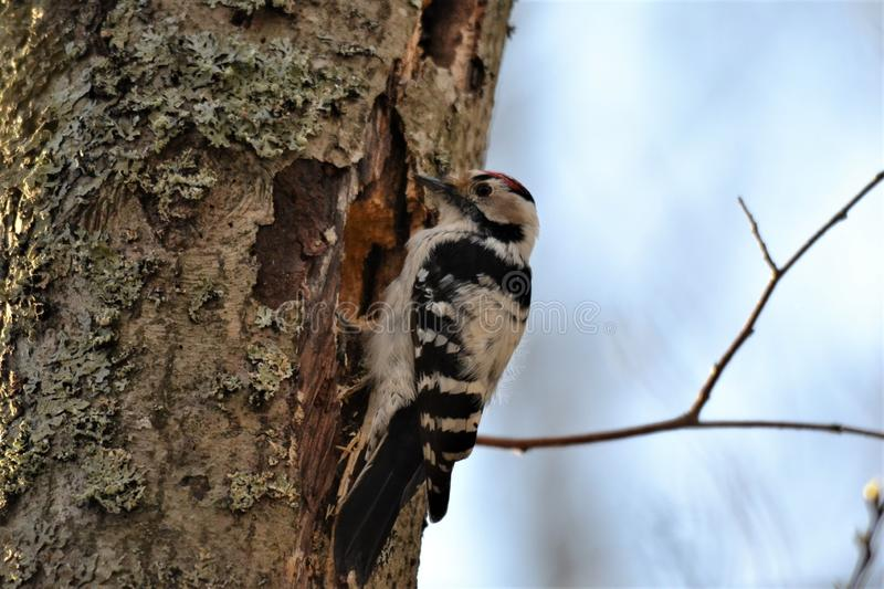 Little Spotted Woodpecker built a home on a tree. royalty free stock photography