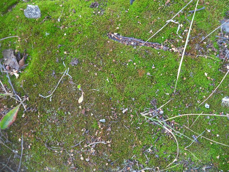 Little sprouted green moss. Small sprouted green moss with branches and leaves stock image