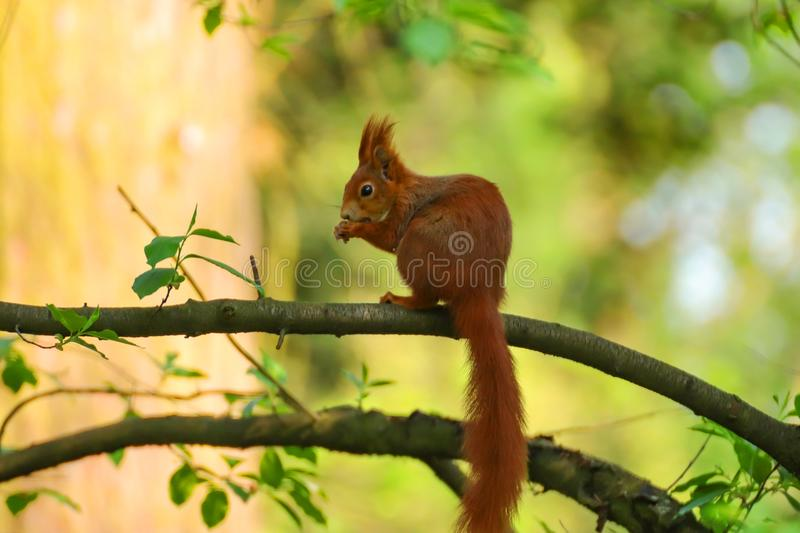 Little squirel with long tail in wild nature. Pretty, nice animal is sitting on the tree stock images