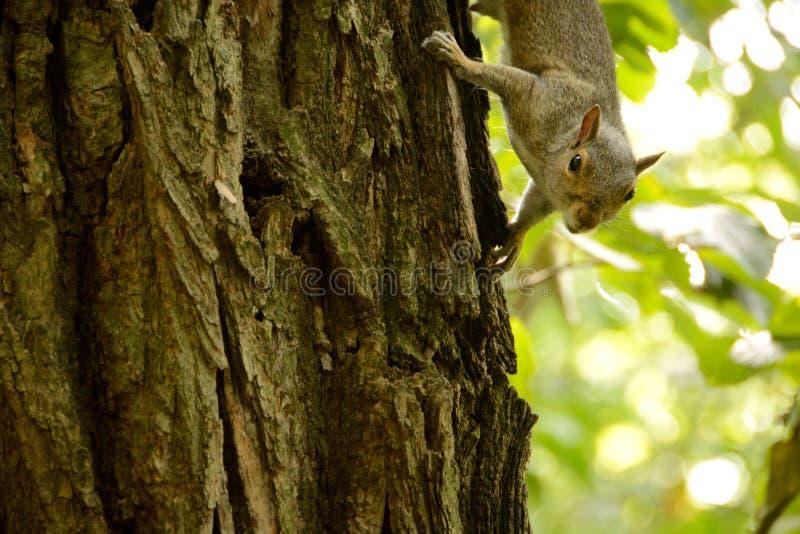 Little squirrel stock photos