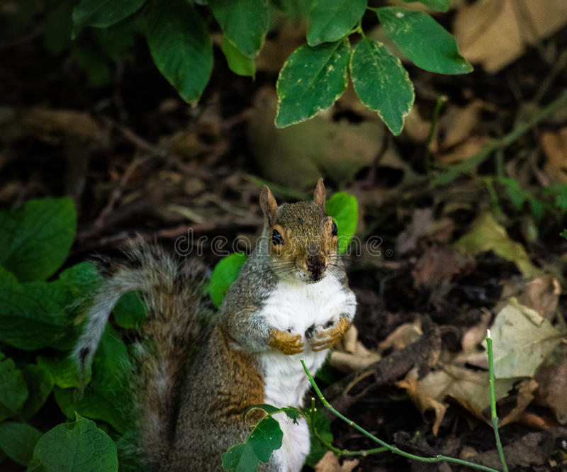 Little squirrel royalty free stock images