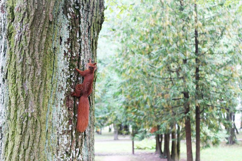 Little squirrel jumping on a tree in the autumn Park stock images