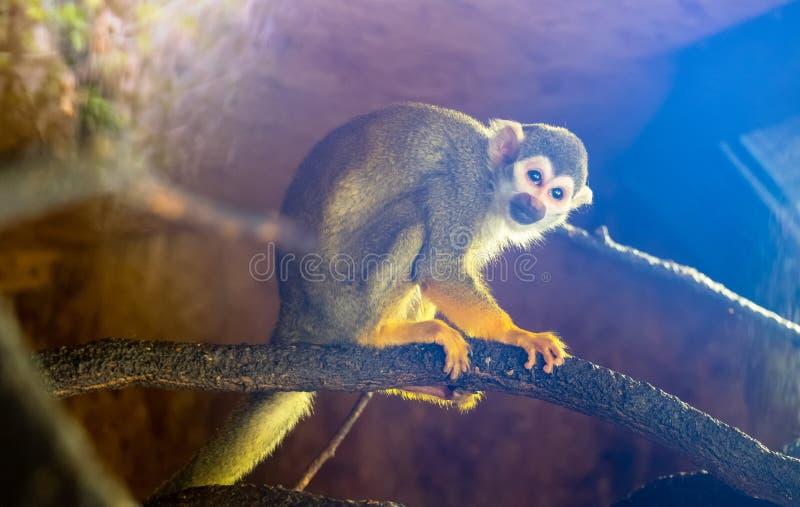 Little Squirrel monkey, blue stock image