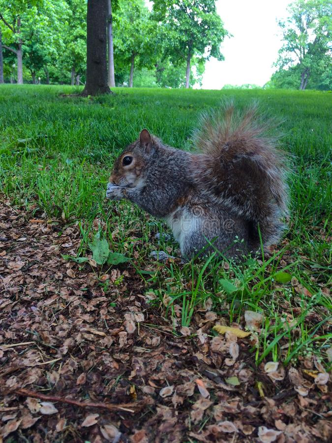 Little Squirrel Eating in the Grass stock photography