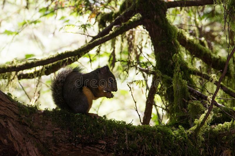 Little squirrel sitting and eating on a branch in the forest near Vancouver, canada. Little squirrel sitting, hiding and eating on a branch in the forest near stock photo