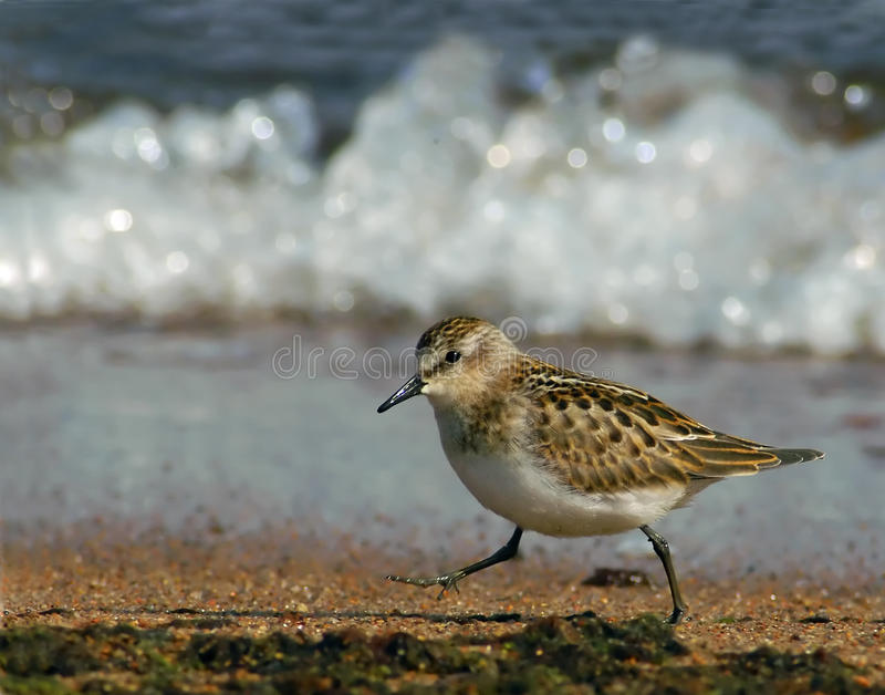 Download Little Stint Royalty Free Stock Image - Image: 21978396
