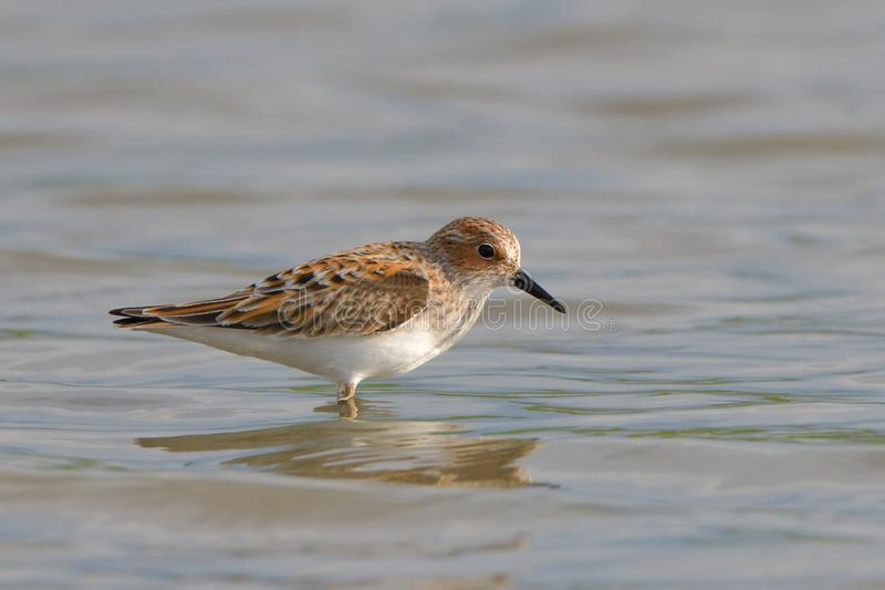 Little stint in shallow water royalty free stock photography