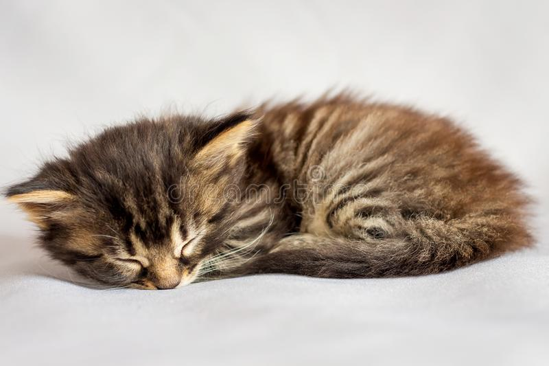 A little striped kitten is tired and sleeping stock photos