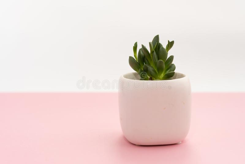 Little succulent plant in a white pot on a pink and white background. Design concept. Copy space mockup stock image