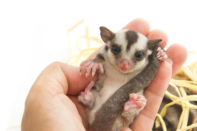 Little sugar-glider rest in hand stock photo