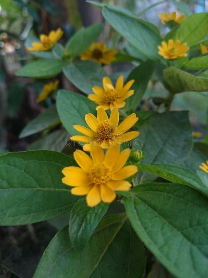 Little Sun Flower stock photos