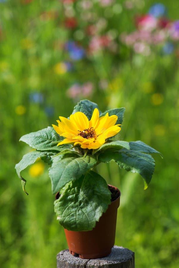 Little sun flower in a pot. On summer landscape background stock photography