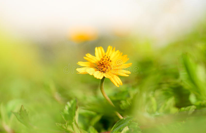 The Little Sun Flower is Shining The Morning. The field of little sun flowers, it spreads around royalty free stock images