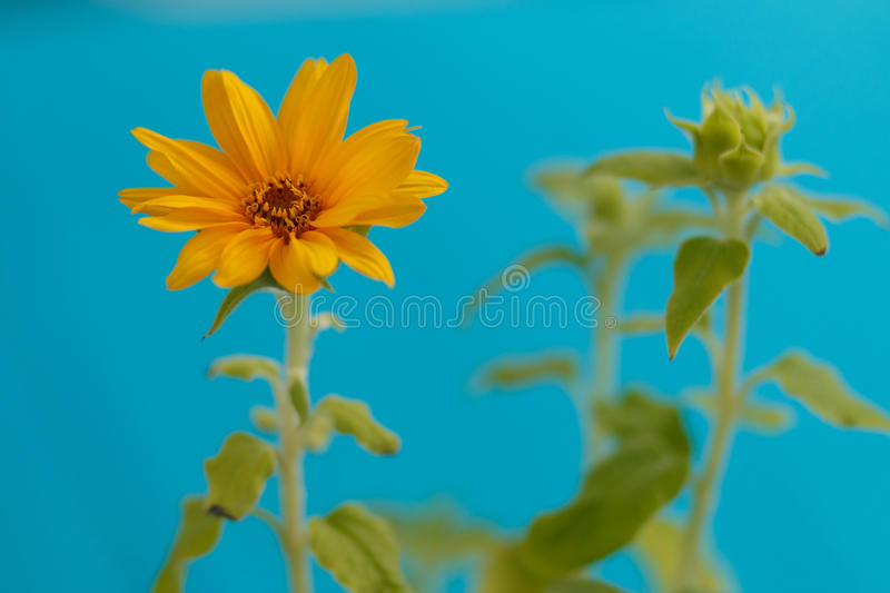 Little Sunflower royalty free stock photography