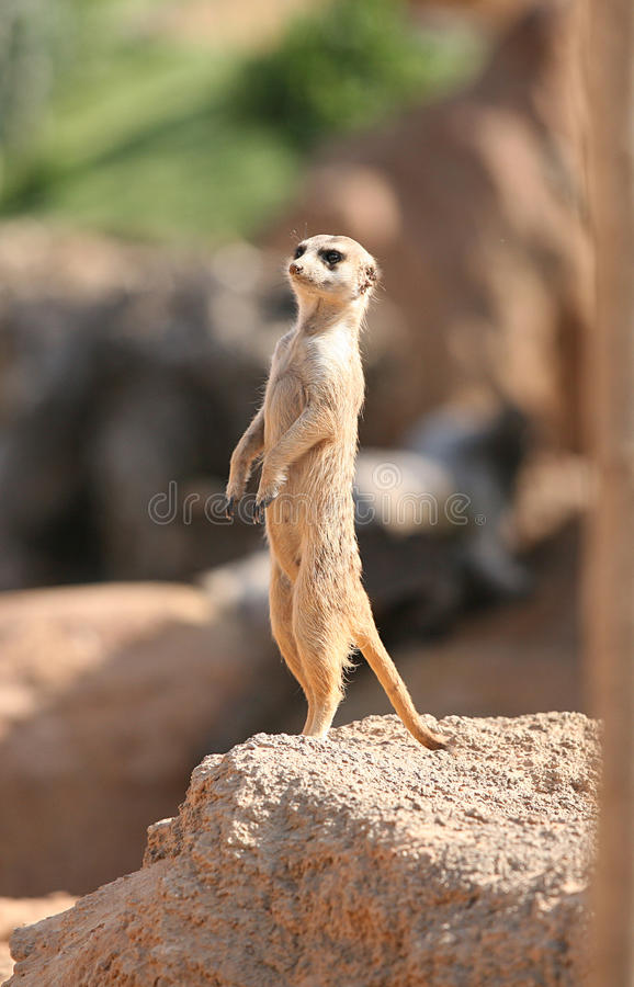 Download Little Suricata In Biopark Stock Image - Image: 23386761