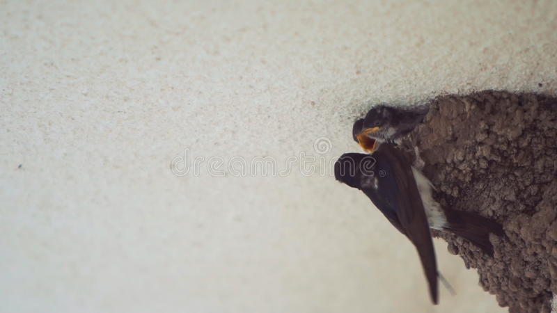 Little Swallow Open Mouth, Waiting For His Mother, Who ...