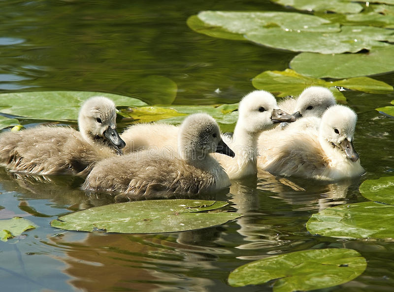 Download Little swans stock photo. Image of wildlife, duckling - 19686568