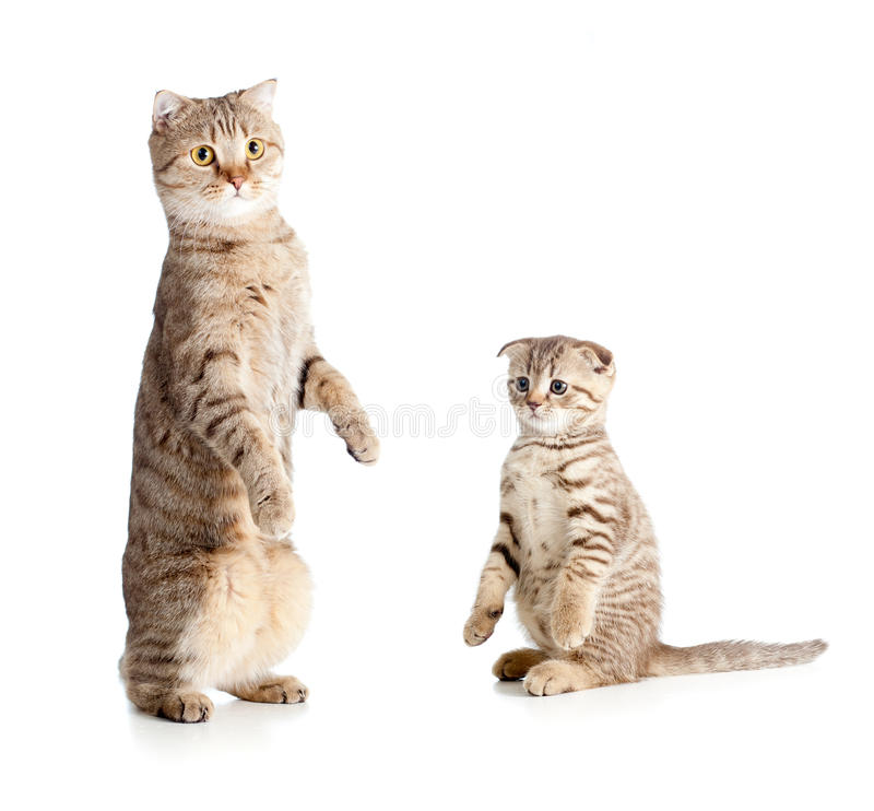 Little tabby kitten with mother cat. Little tabby kitten Scottish with mother cat royalty free stock photography