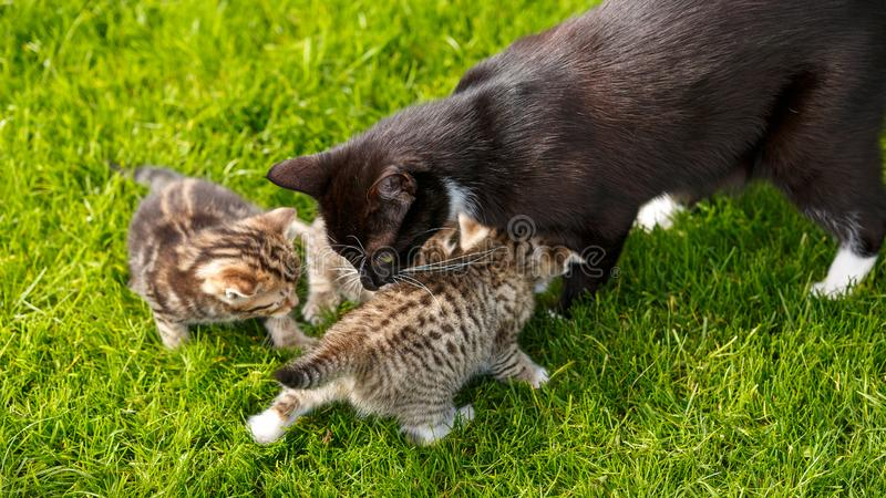 Little tabby kittens playing with their cat mother on the grass stock photo