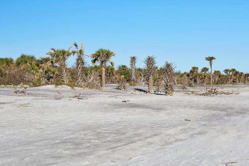 Little Talbot Island State Park, Florida. Palm trees along the beach at Little Talbot Island State Park near Jacksonville, Florida royalty free stock image