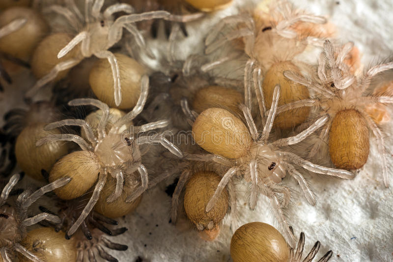 Little tarantula. Little transparent baby spiders crawling Pterinochilus murinus baboon spider from Africa royalty free stock image