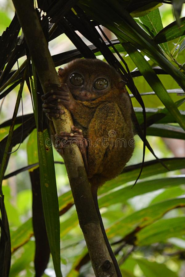 Little Tarsier on the island Bohol in Philippines royalty free stock image