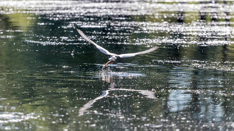 Little tern emerging out of water with a fish stock image