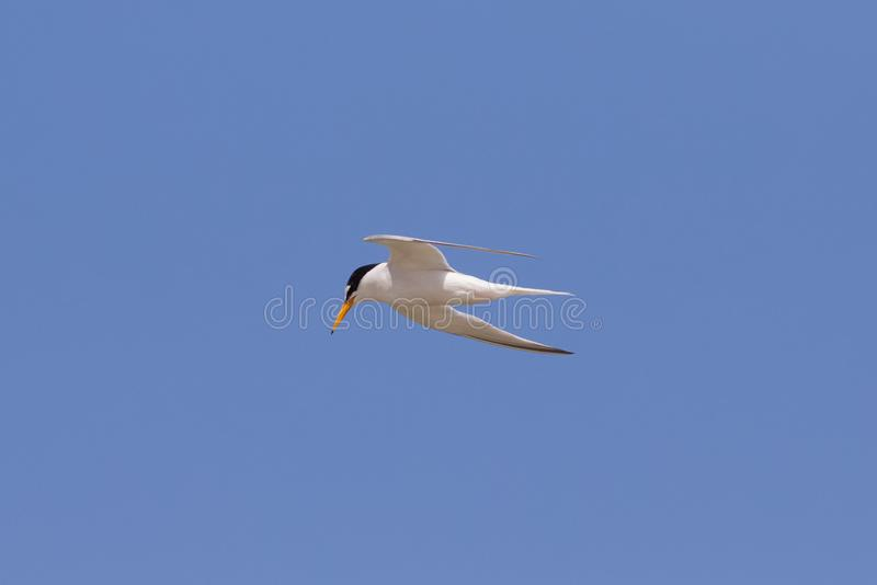 A Little Tern flying against a blue sky. stock photo