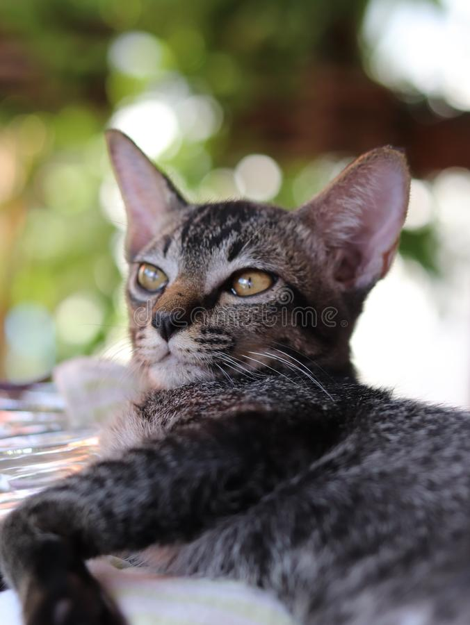 Little Thai naughty cat in the world royalty free stock photography