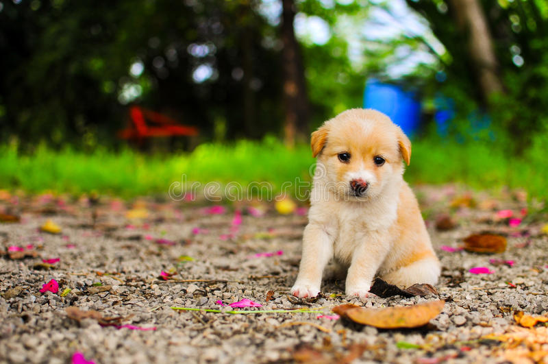 A little thai puppy dog. A beautiful little thai puppy dog sitting in the grass watching other dogs stock photography