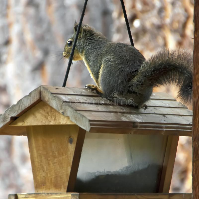 The Little Thief and the Bird Feeder stock photography
