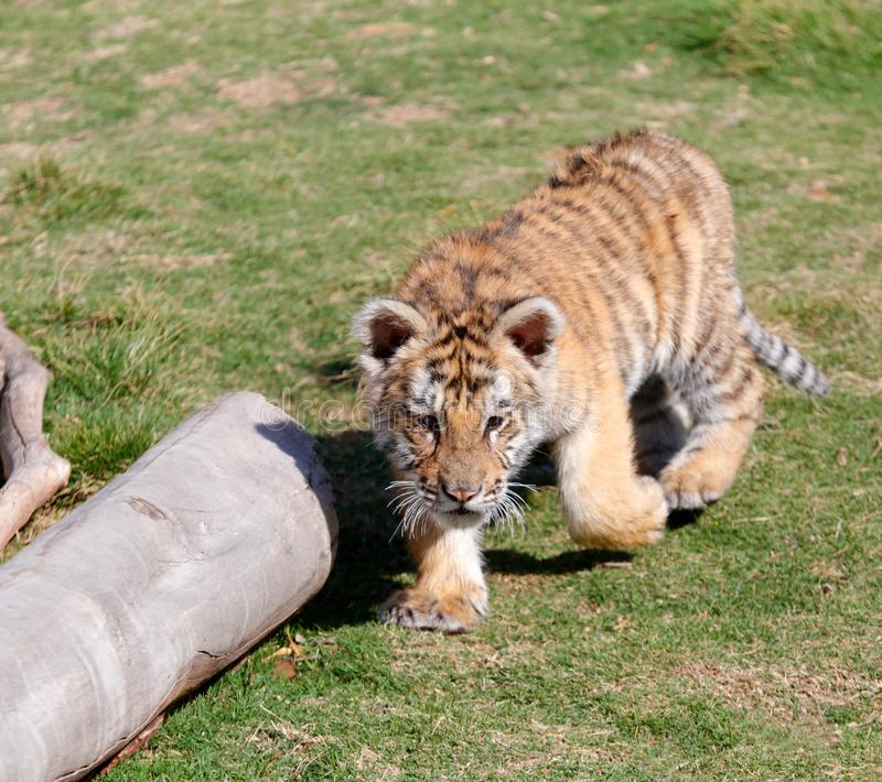 Little tiger run, srgb image. Small tiger running on the meadow stock photography