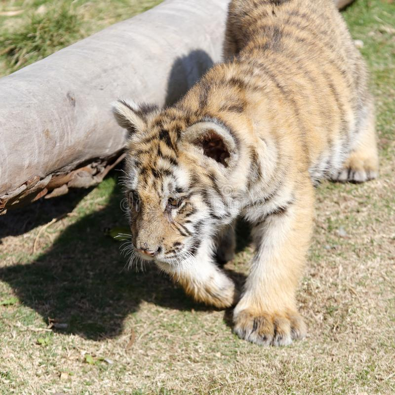 Little tiger running, srgb image. Small tiger running on the meadow royalty free stock photo