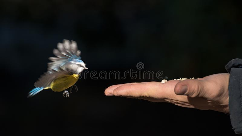 Tit can be fed by hand stock images