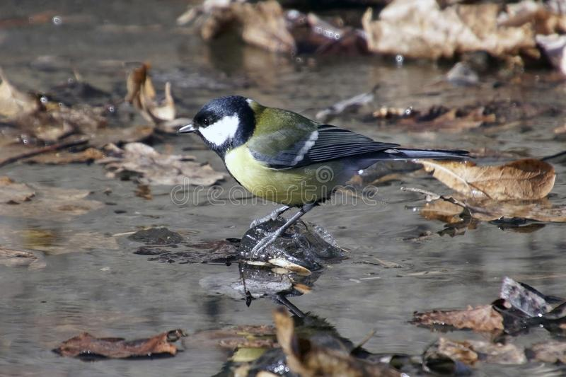 Little tit on a pebble in the river. Melt water on ice. Last year`s fallen leaves stock images