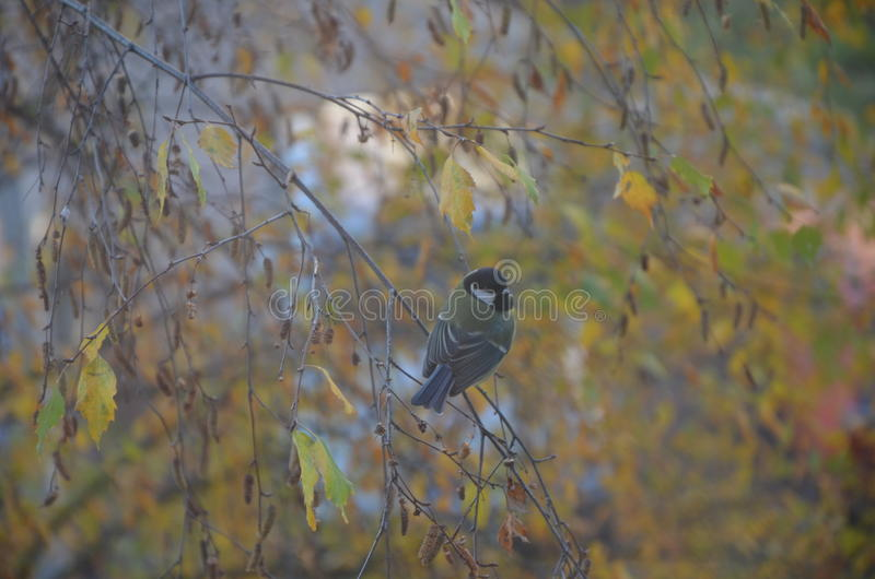 Little titmouse waiting for the food on the beautiful Autumn tree royalty free stock photo