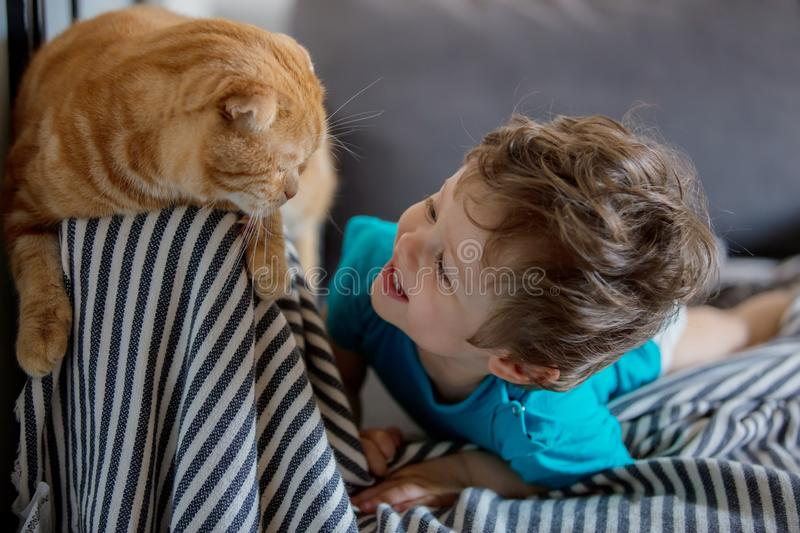 Little toddler boy play with a Scottish fold cat. In home royalty free stock photography