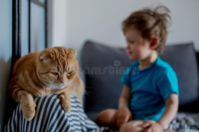 Little toddler boy play with a Scottish fold cat. In home stock photos