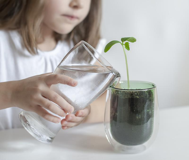 Little toddler girl is holding a transparent glass with water and watering young plant. Caring for a new life. The child`s hands royalty free stock photo