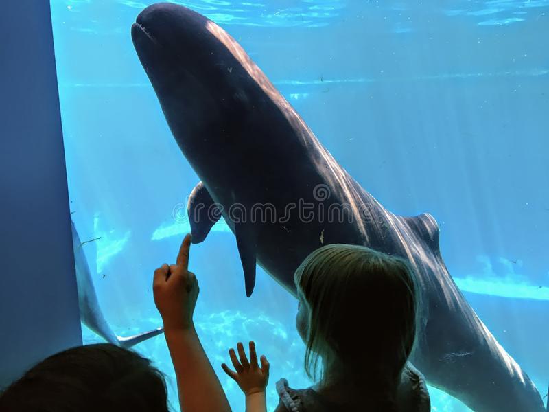 A little toddler and mom and a false killer whale saying hello to each other stock photo