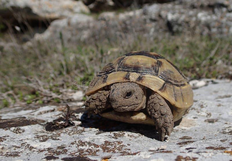 Little tortoise baby on a rock stock photo